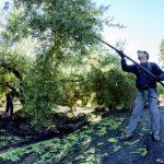 Bareo olivo