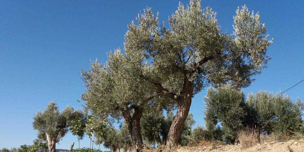 Imagen del artículo Formando parte de la vida de mi olivo