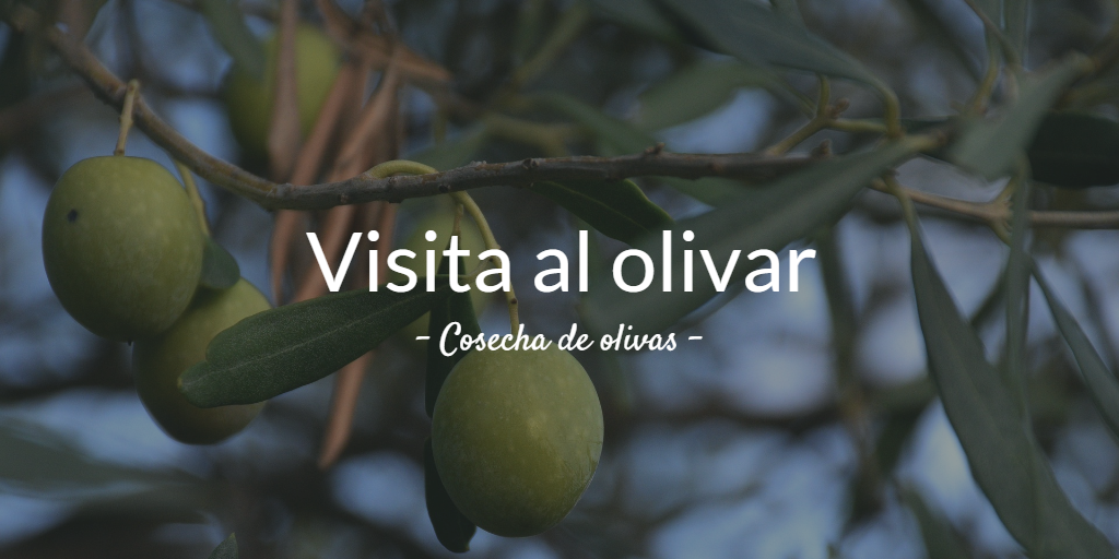 Visita al olivar. Cosecha de olivas